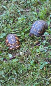 A visit from some turtles made for on-the-spot nature study.